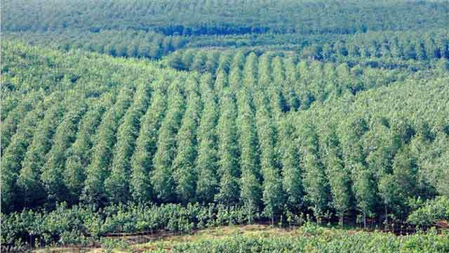 Natural Rubber Production Faces a Crisis   NHK WORLD-JAPAN ...